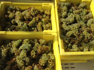 grapes ready